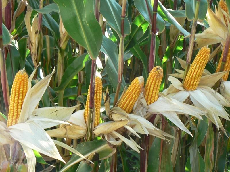 Les perspectives des marchés du maïs pour l'année 2018